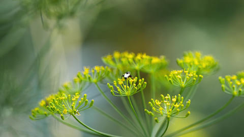 Yellow-black hoverfly on fennel flowers Live Action