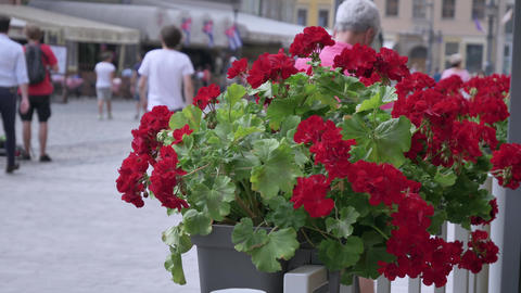 Street life in the center of European city view thru red flowers People in Footage