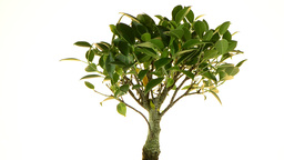 Bonsai Tree Stock Video Footage