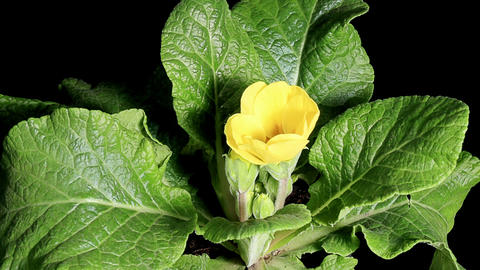 Flowering yellow primula on the black background (Primula) Footage