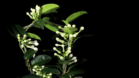 Time-lapse opening white stephanotis on the black background (Stephanotis) Footage