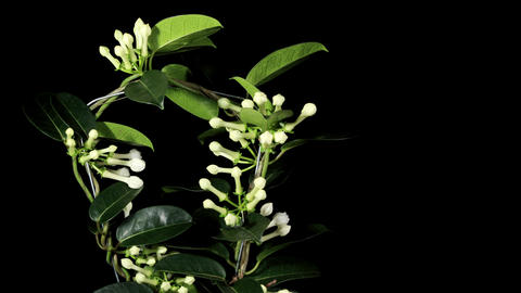 Time-lapse opening white stephanotis on the black... Stock Video Footage