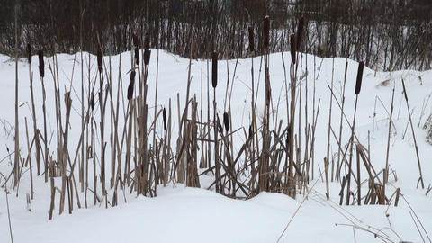Thickets of reeds Stock Video Footage