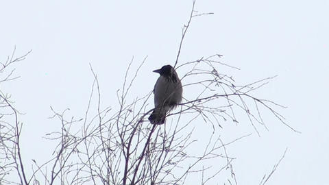 A crow on a branch Stock Video Footage