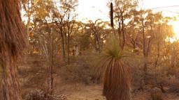 Grasstree (Balga Tree) at Sunrise in some Australian Bush Stock Video Footage