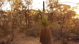 Grasstree (Balga Tree) at Sunrise in some Australian Bush Stock Video Footage