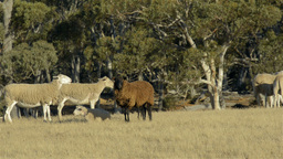 Black Sheep Stock Video Footage