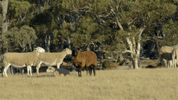 Black Sheep stock footage