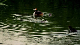 King fisher on the lake Stock Video Footage