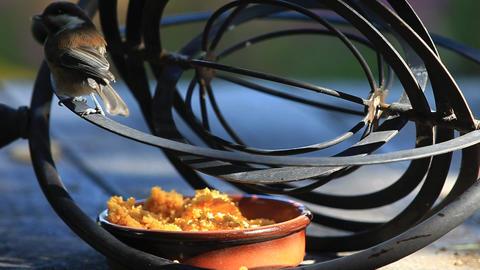 Chickadee eats despite an astrolabe barrier Footage