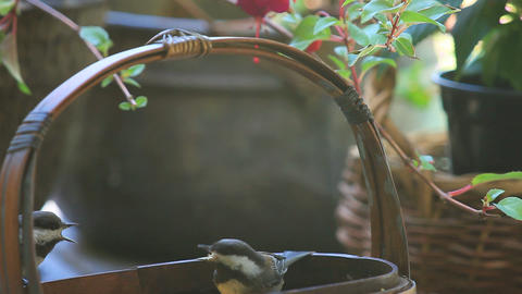 Chickadees bicker at basket feeder Footage