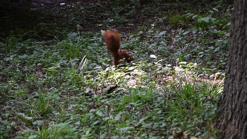 Brown squirrel runs through the forest grass in search of food, rodents from the squirrel family, Live Action