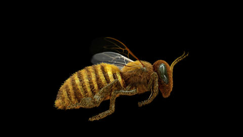 Honey Bee Flying Loop 360 degree Alpha Animation