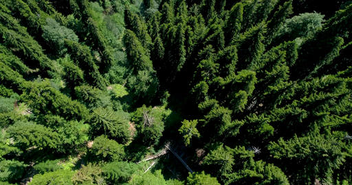 Beautiful view of the pine forest from the top with panoramic views of the blue Footage