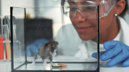 Black research scientist in safety eyeglasses observing the hamster behavior Footage