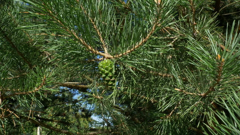 4k Beautiful green pine branch of evergreen spruce. Pine tree, sways in the wind Live Action