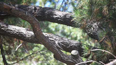 Woodpecker parent finds food for fledgling Footage
