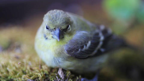 Young goldfinch after window collision Footage