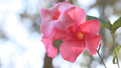 Backlit pink mandevilla flowers Footage