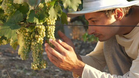a man in a hat inspects the grape harvest in the sun Live Action