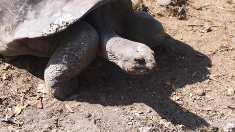 Aldabra giant tortoise in nature. One animal Live Action