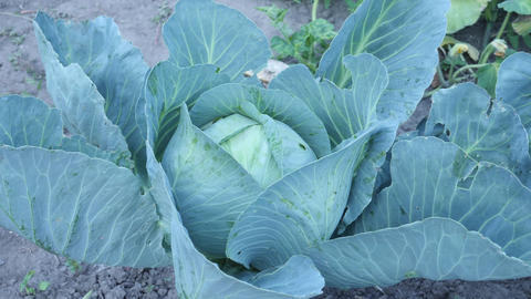 Thick Green Leaves of Organic Cabbage Plant at Home Plant Live Action