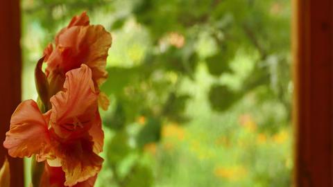 Red gladiolus by the foggy window Footage