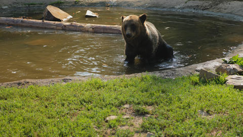 Brown bear shakes off water after swimming Live Action