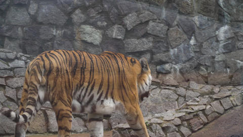 Big tiger in zoo Footage