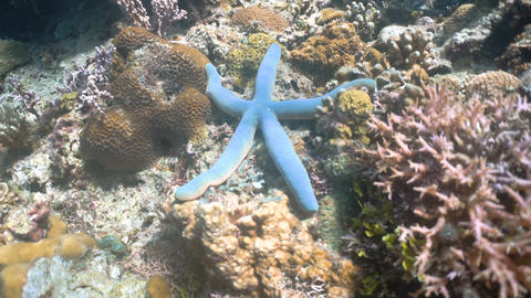 Starfish on coral Live Action