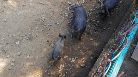 Wild pigs Sus scrofa with young animals gather food in a zoo in a pine forest in Live Action