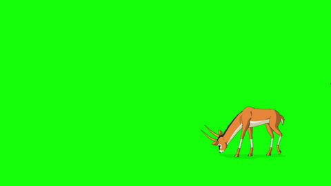 Anthelope or Gazelle grazes, gets scared and runs away Animation