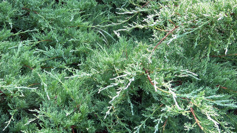 Branches of an evergreen coniferous shrub. Branches of thuja trees Live Action