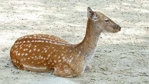 Fallow Deer in Zoo Footage for Background Footage