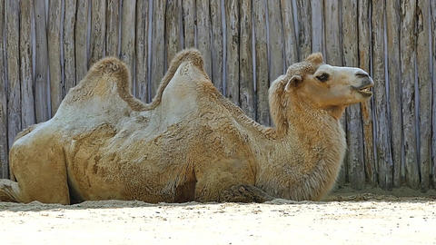 Camel in Camel in Zoo HD Video Footage for your Project Footage