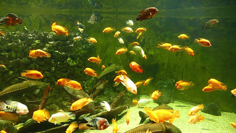 Fish Aquarium Black Doras Midas Cichlid in Zoo HD Video Footage for your Project Footage