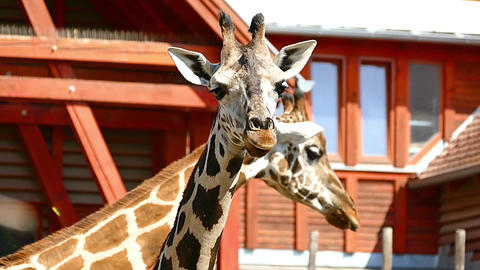 Giraffe Camelopard in Zoo HD Video Footage for your Project Footage