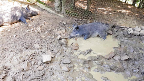 Wild pigs Sus scrofa with young animals wallow in a swamp in a zoo in a pine Live Action