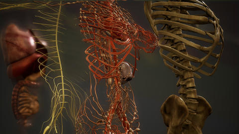Animated 3D human anatomy illustration Footage