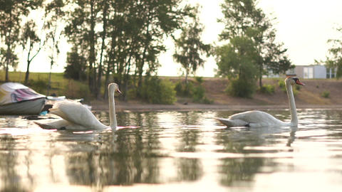 Two romantic white swans swims on the lake near shore at the morning Footage