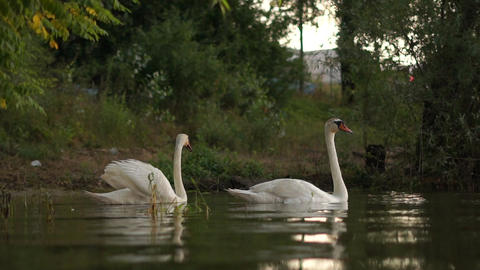 Two romantic white swans swims on the lake near shore at the morning Live Action