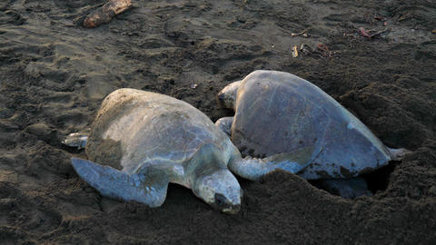 Atlantic Ridley Sea Turtles Spawning on a Tropical Beach Live Action