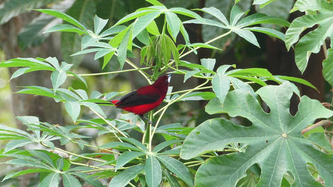 Summer tanager tropical songbird in its natural habitat Live Action