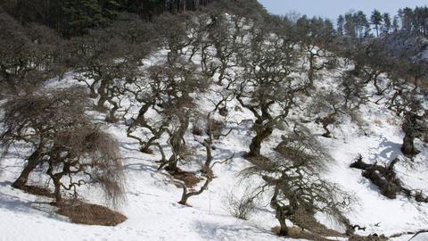 Tree shidarekuri V1-0033 Footage