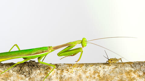 Praying Mantis catching a Cricket to eat Live Action