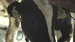 Cow (cows) on the farm. Agriculture Footage