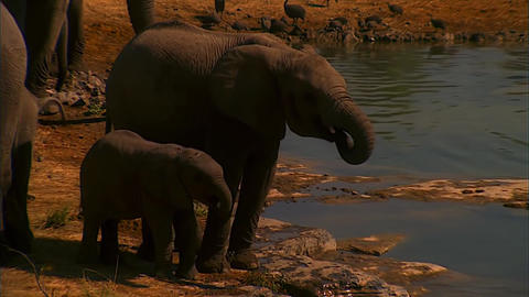 Mother And Baby Elephant at The Lake Footage