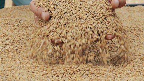 Male hands scoop grains of barley Live Action