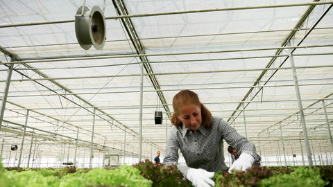 Female agronomist inspecting the growth of organic green salad Live Action