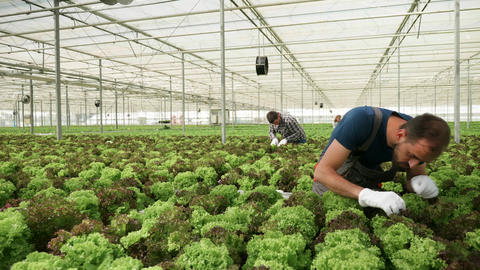 Agricultural worker inspecting the soil on a green salad Live Action